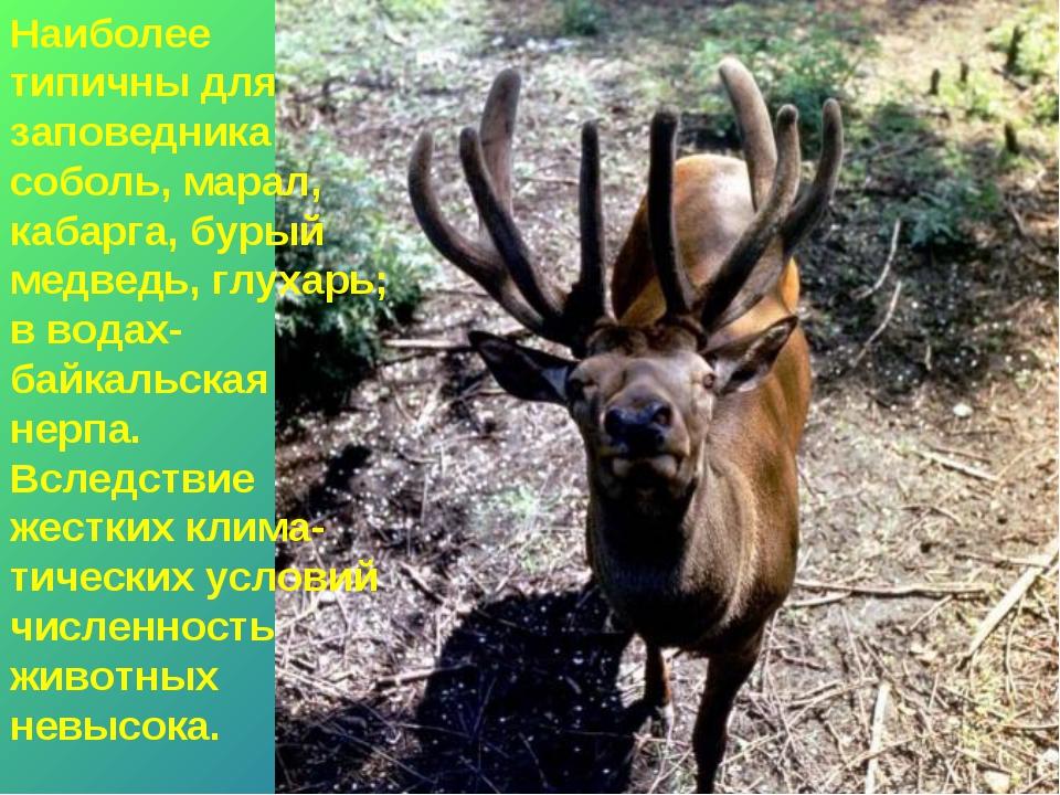* Наиболее типичны для заповедника соболь, марал, кабарга, бурый медведь, глу...