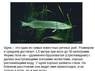 Щука – это одна из самых известных речных рыб. Размером в среднем достигает 1