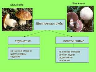 трубчатые пластинчатые Шляпочные грибы на нижней стороне шляпки видны трубоч