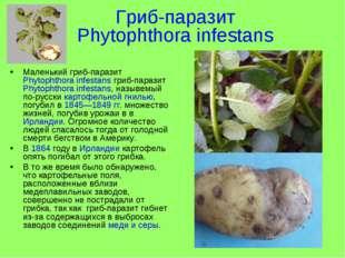 Гриб-паразит Phytophthora infestans Маленький гриб-паразит Phytophthora infes