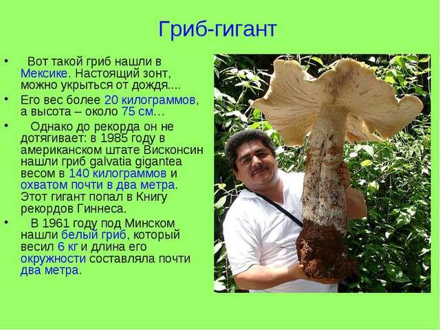 Гриб-гигант Вот такой гриб нашли в Мексике. Настоящий зонт, можно укрыться от...