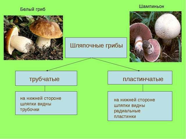 трубчатые пластинчатые Шляпочные грибы на нижней стороне шляпки видны трубоч...