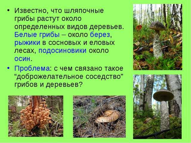 Известно, что шляпочные грибы растут около определенных видов деревьев. Белые...