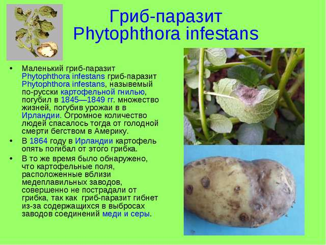Гриб-паразит Phytophthora infestans Маленький гриб-паразит Phytophthora infes...