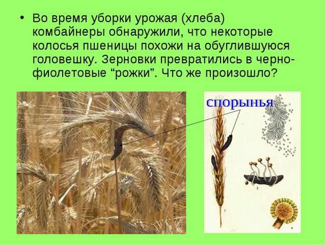 Во время уборки урожая (хлеба) комбайнеры обнаружили, что некоторые колосья п...