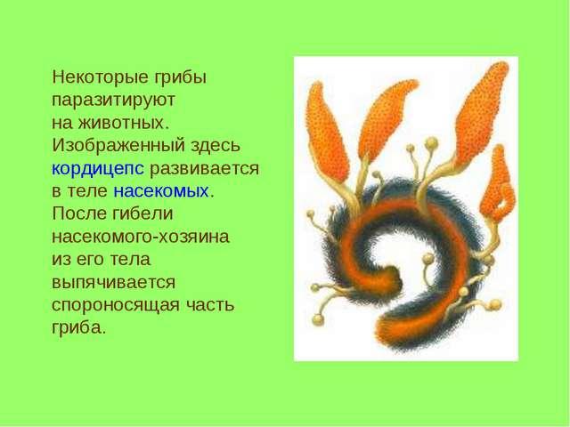 Некоторые грибы паразитируют наживотных. Изображенный здесь кордицепс разви...
