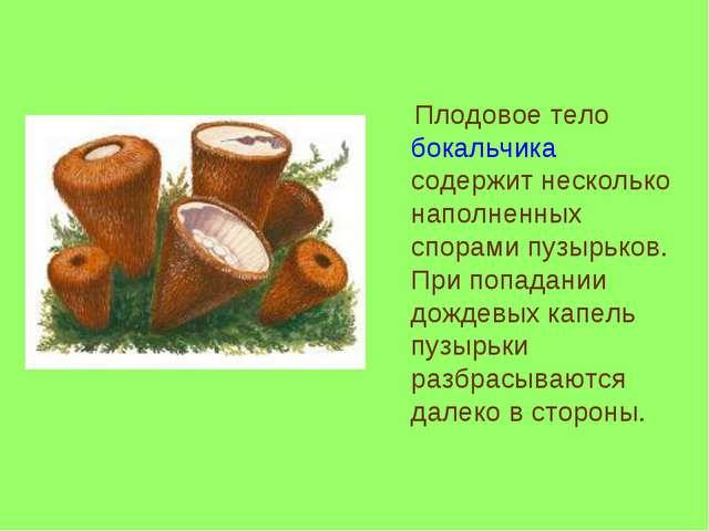 Плодовое тело бокальчика содержит несколько наполненных спорами пузырьков. П...