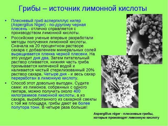 Грибы – источник лимонной кислоты Плесневый гриб аспергиллус нигер (Aspergill...