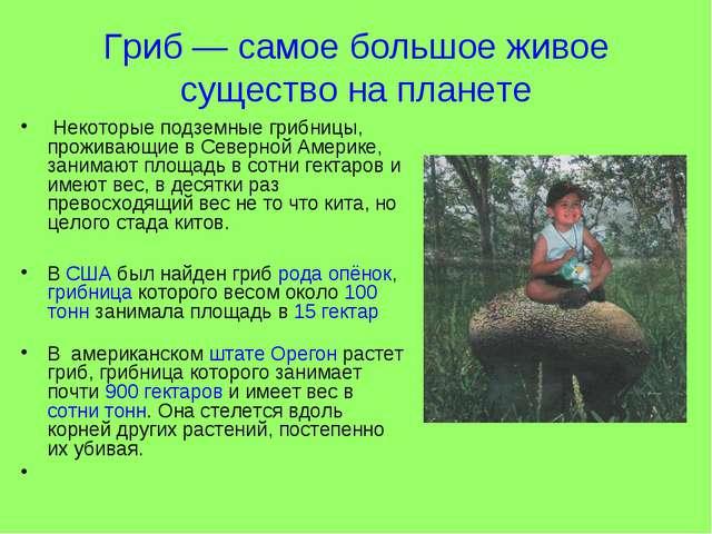 Гриб — самое большое живое существо на планете Некоторые подземные грибницы,...