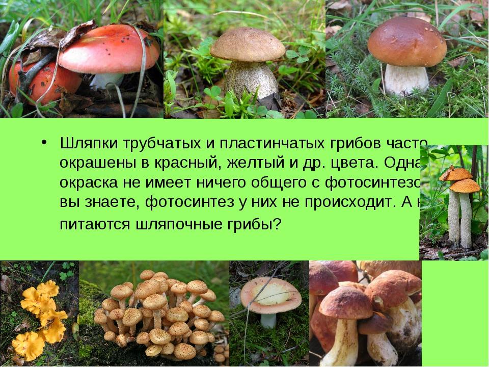 Шляпки трубчатых и пластинчатых грибов часто окрашены в красный, желтый и др....