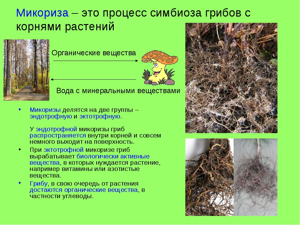 Микориза – это процесс симбиоза грибов с корнями растений Микоризы делятся на...