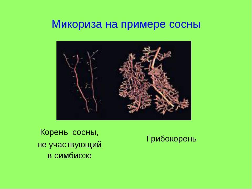 Микориза на примере сосны Грибокорень Корень сосны, не участвующий в симбиозе