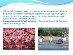 1) Розовый фламинго живут колониями до миллиона птиц. Селятся фламинго на бер