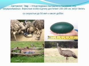 Австралия: Эму– птица-эндемик Австралии и Тасмании, отр. казуарообразных. В