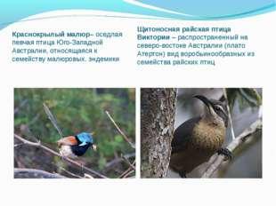 Краснокрылый малюр– оседлая певчая птица Юго-Западной Австралии, относящаяся