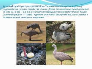 Куриный гусь– распространенный на Тасмании и в Австралии вид птиц подсемейст