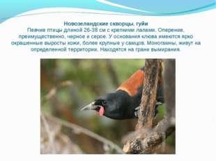 Новозеландские скворцы,гуйи Певчие птицы длиной 26-38 см с крепкими лапами.