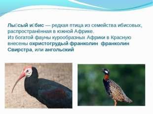 Лы́сый и́бис— редкая птица из семейства ибисовых, распространённая в южной А