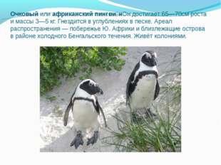Очковый илиафриканский пингви́нОн достигает 65—70см роста и массы 3—5кг. Гн