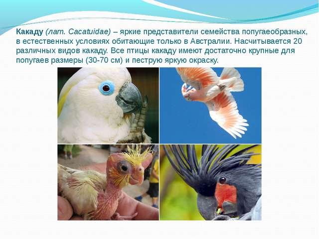 Какаду(лат. Cacatuidae)– яркие представители семейства попугаеобразных, в е...