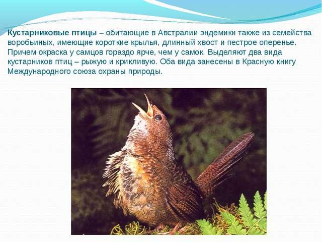 Кустарниковые птицы–обитающие в Австралии эндемики также из семейства вороб...