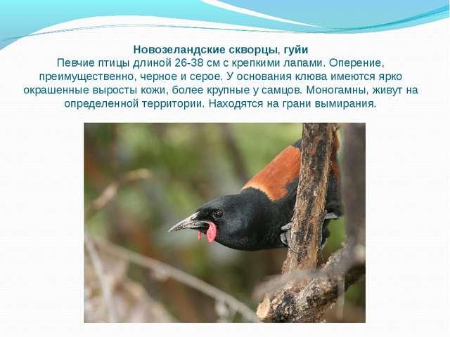 Новозеландские скворцы,гуйи Певчие птицы длиной 26-38 см с крепкими лапами....