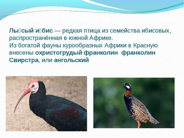 Лы́сый и́бис— редкая птица из семейства ибисовых, распространённая в южной А...