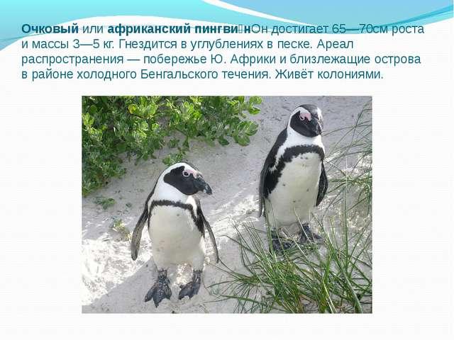 Очковый илиафриканский пингви́нОн достигает 65—70см роста и массы 3—5кг. Гн...