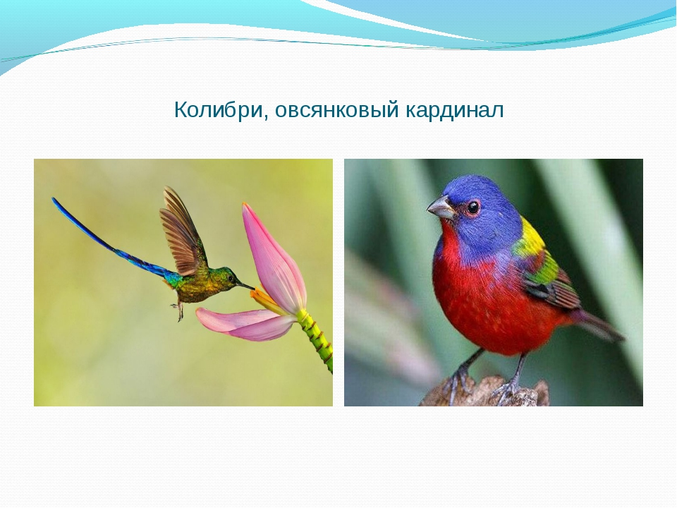 Колибри, овсянковый кардинал