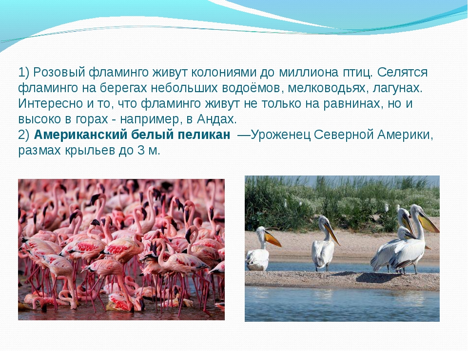1) Розовый фламинго живут колониями до миллиона птиц. Селятся фламинго на бер...
