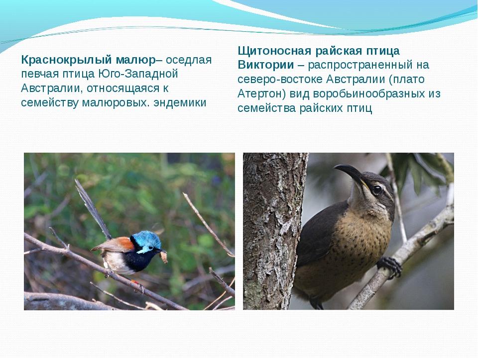 Краснокрылый малюр– оседлая певчая птица Юго-Западной Австралии, относящаяся...