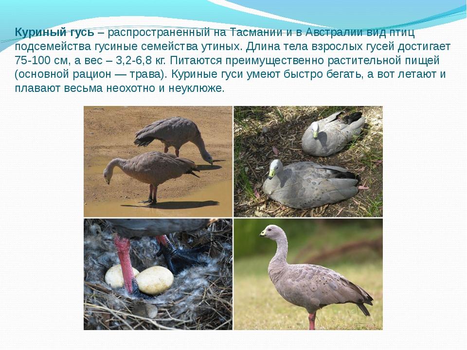 Куриный гусь– распространенный на Тасмании и в Австралии вид птиц подсемейст...