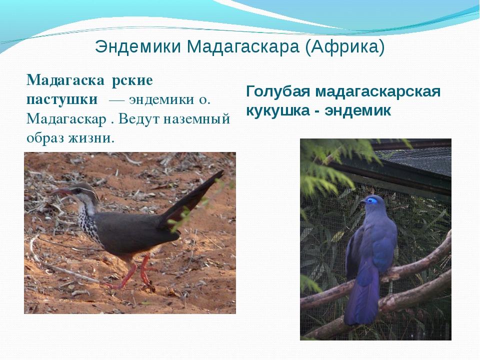 Эндемики Мадагаскара (Африка) Мадагаска́рские пастушки́— эндемикио. Мадагас...