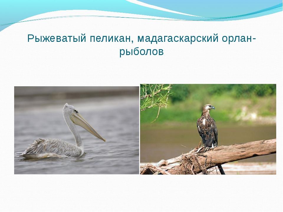 Рыжеватый пеликан, мадагаскарский орлан-рыболов