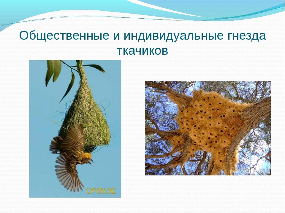 Общественные и индивидуальные гнезда ткачиков