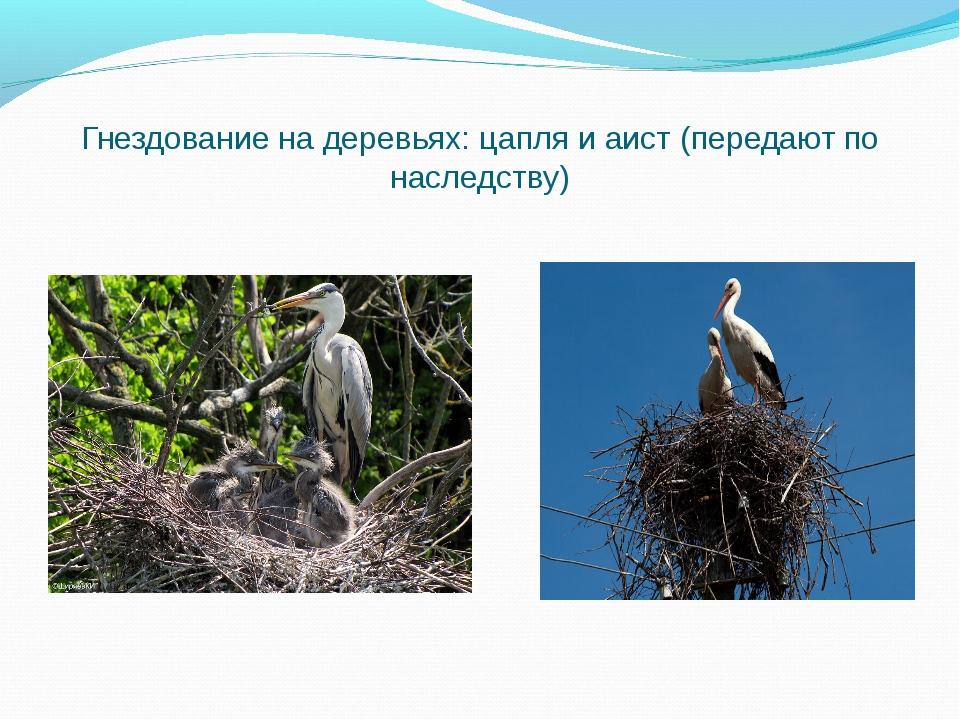 Гнездование на деревьях: цапля и аист (передают по наследству)