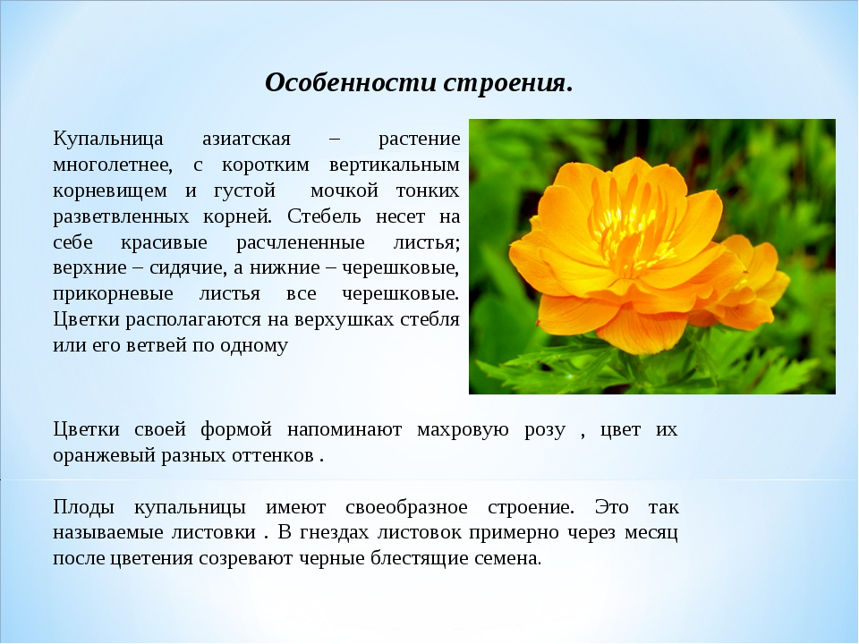Особенности строения. Купальница азиатская – растение многолетнее, с коротким...