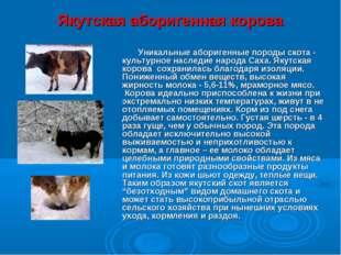 Якутская аборигенная корова Уникальные аборигенные породы скота - культурное