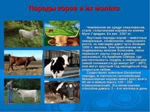 Породы коров и их молоко Чемпионом же среди тяжеловесов, стала голштинская ко