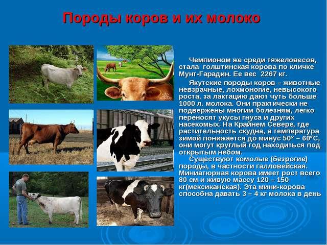 Породы коров и их молоко Чемпионом же среди тяжеловесов, стала голштинская ко...