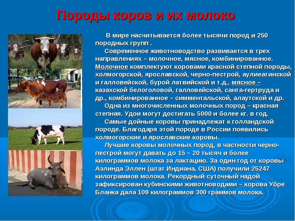 Породы коров и их молоко В мире насчитывается более тысячи пород и 250 породн...