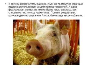 У свиней исключительный нюх. Именно поэтому во Франции издавна использовали и