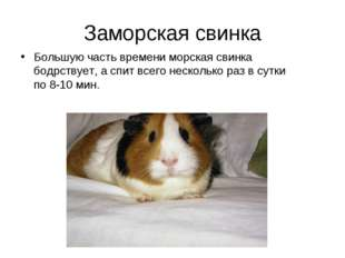 Заморская свинка Большую часть времени морская свинка бодрствует, а спит всег