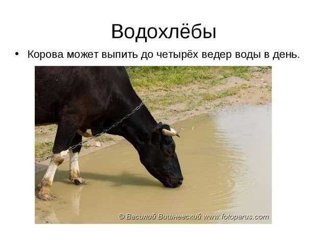 Водохлёбы Корова может выпить до четырёх ведер воды в день.