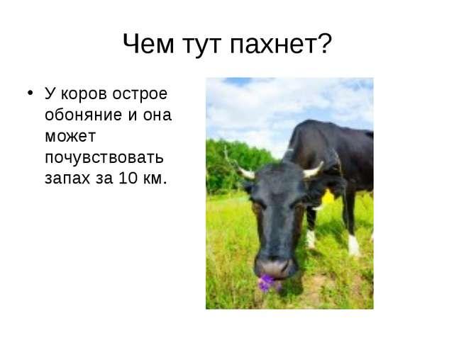 Чем тут пахнет? У коров острое обоняние и она может почувствовать запах за 10...