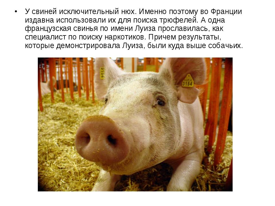 У свиней исключительный нюх. Именно поэтому во Франции издавна использовали и...