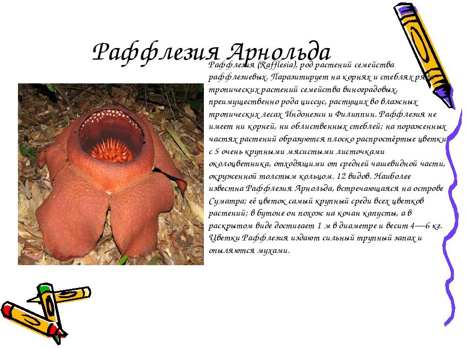 Раффлезия Арнольда Раффлезия (Rafflesia), род растений семейства раффлезиевых...
