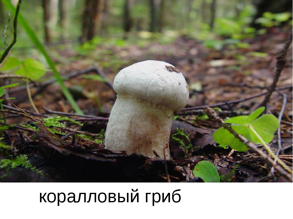 коралловый гриб