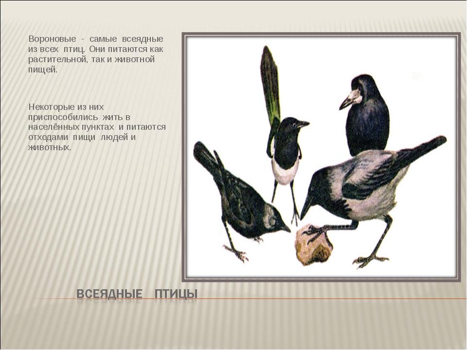 Вороновые - самые всеядные из всех птиц. Они питаются как растительной, так и...