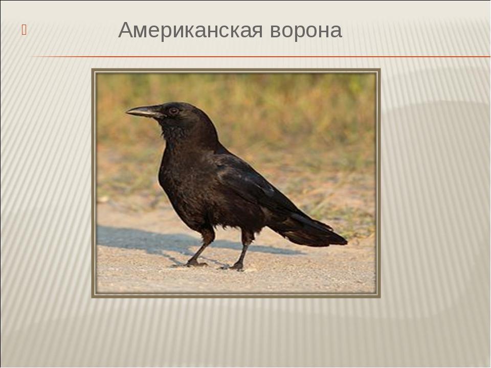 Американская ворона